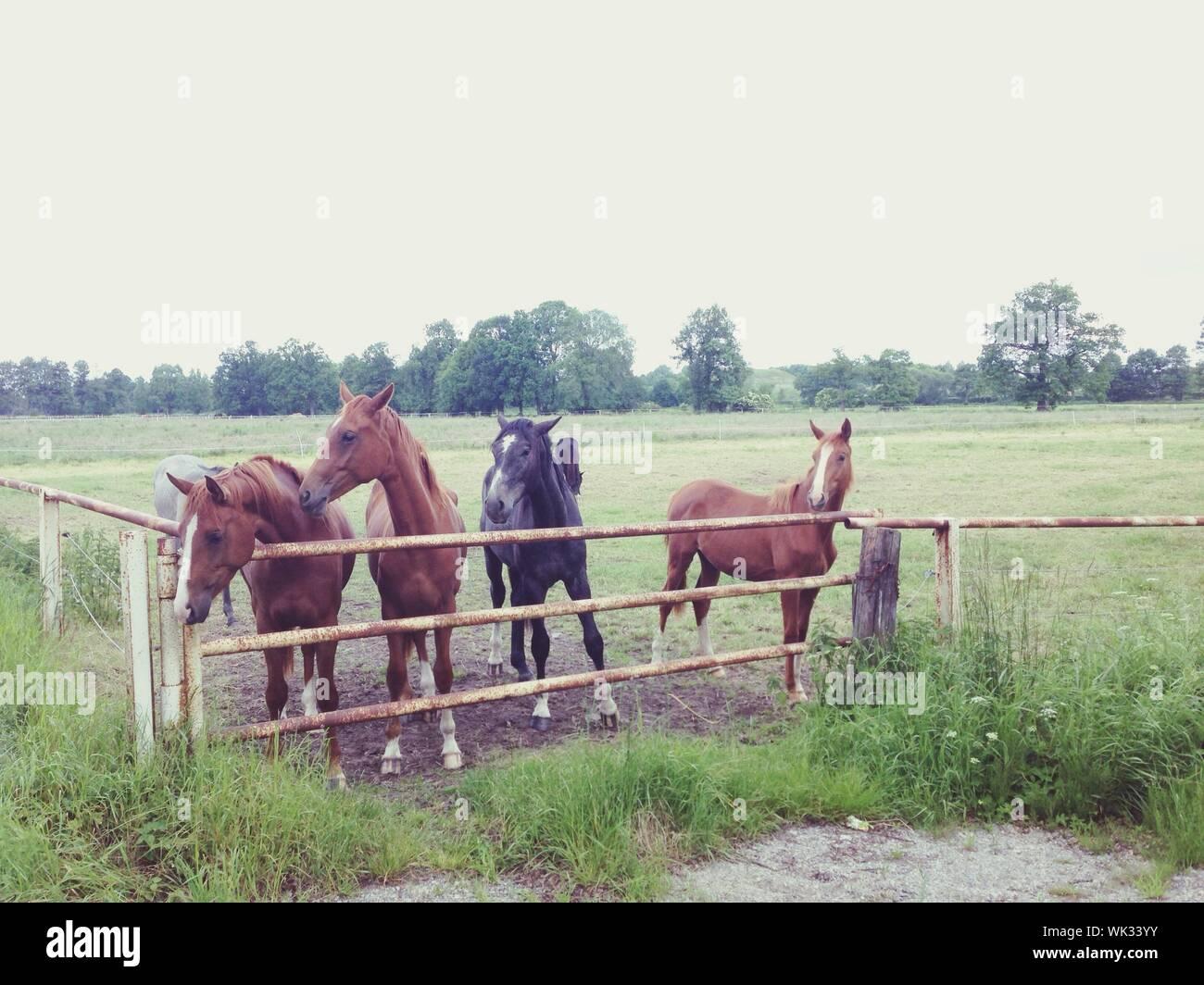 Free Spirited Horses On Farm Field Stock Photo