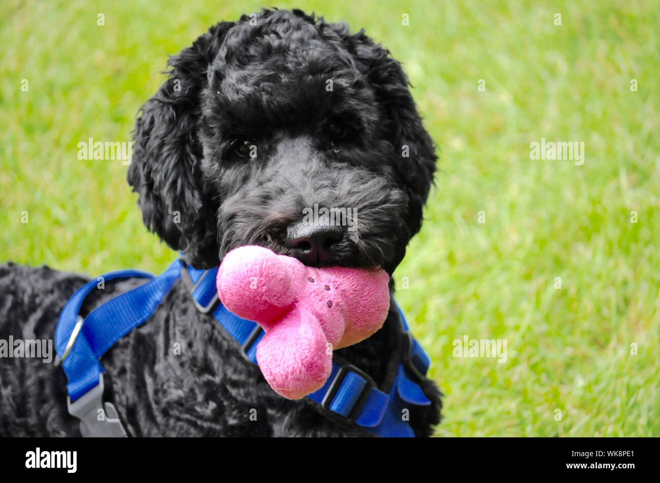Toy Poodle Black Stock Photos Toy Poodle Black Stock