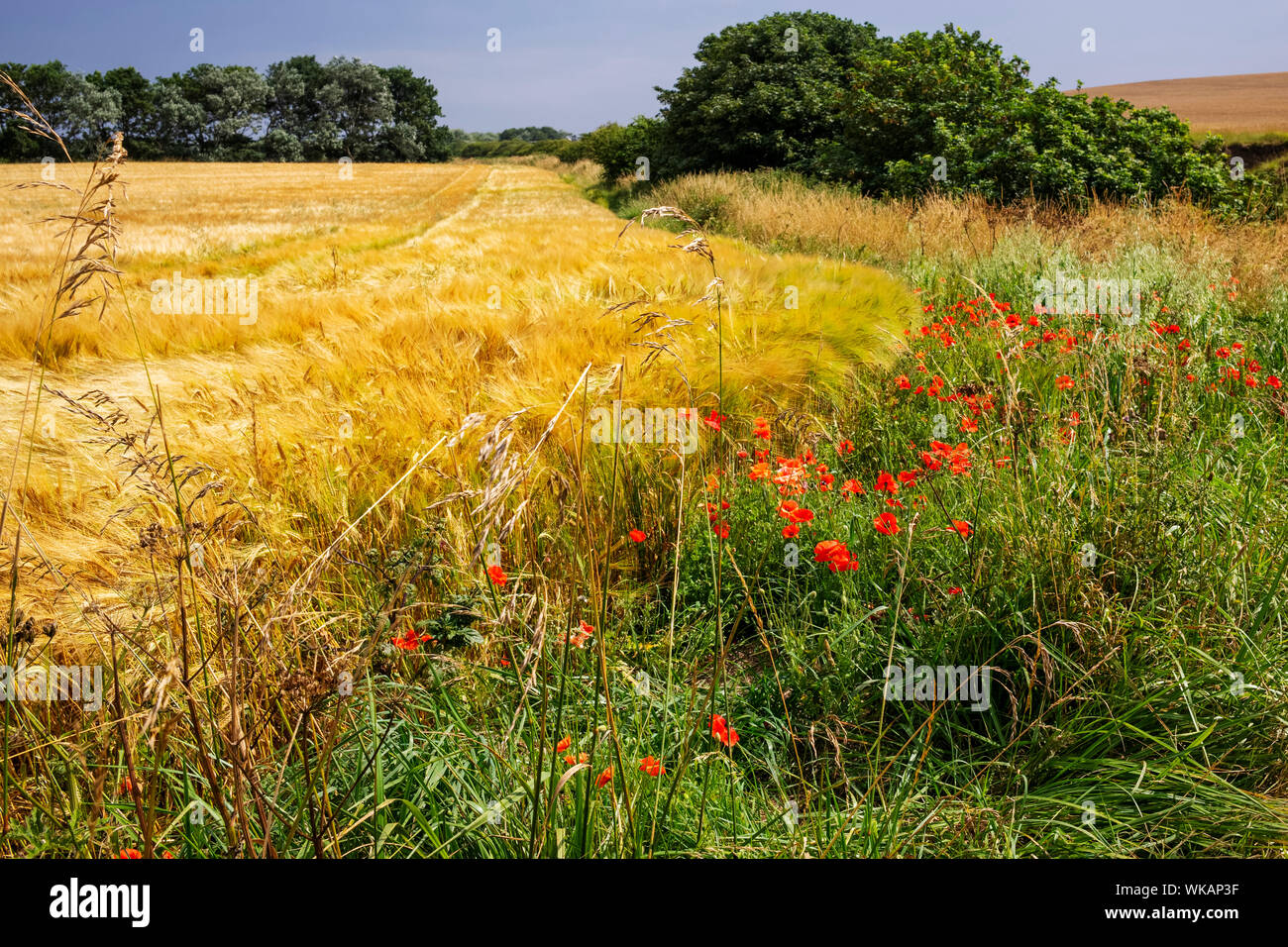 Poppies growing at the edge of a field of barley, Bridlington to Flamborough coastal path, Yorkshire, UK Stock Photo