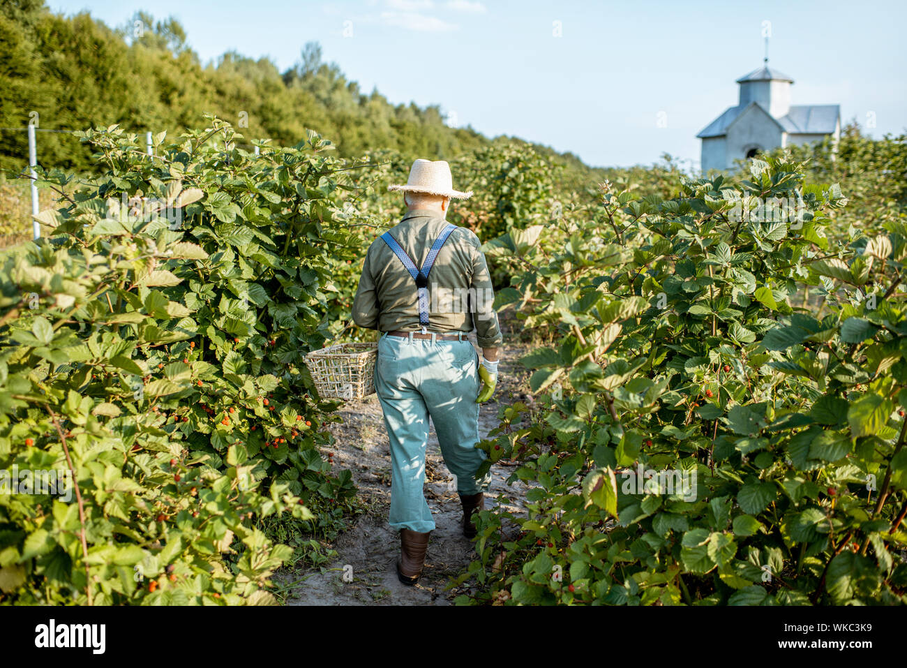Senior gardener collecting blackberries on the beautiful plantation during the sunny evening, walking back. Concept of a small gardening and growing berries Stock Photo