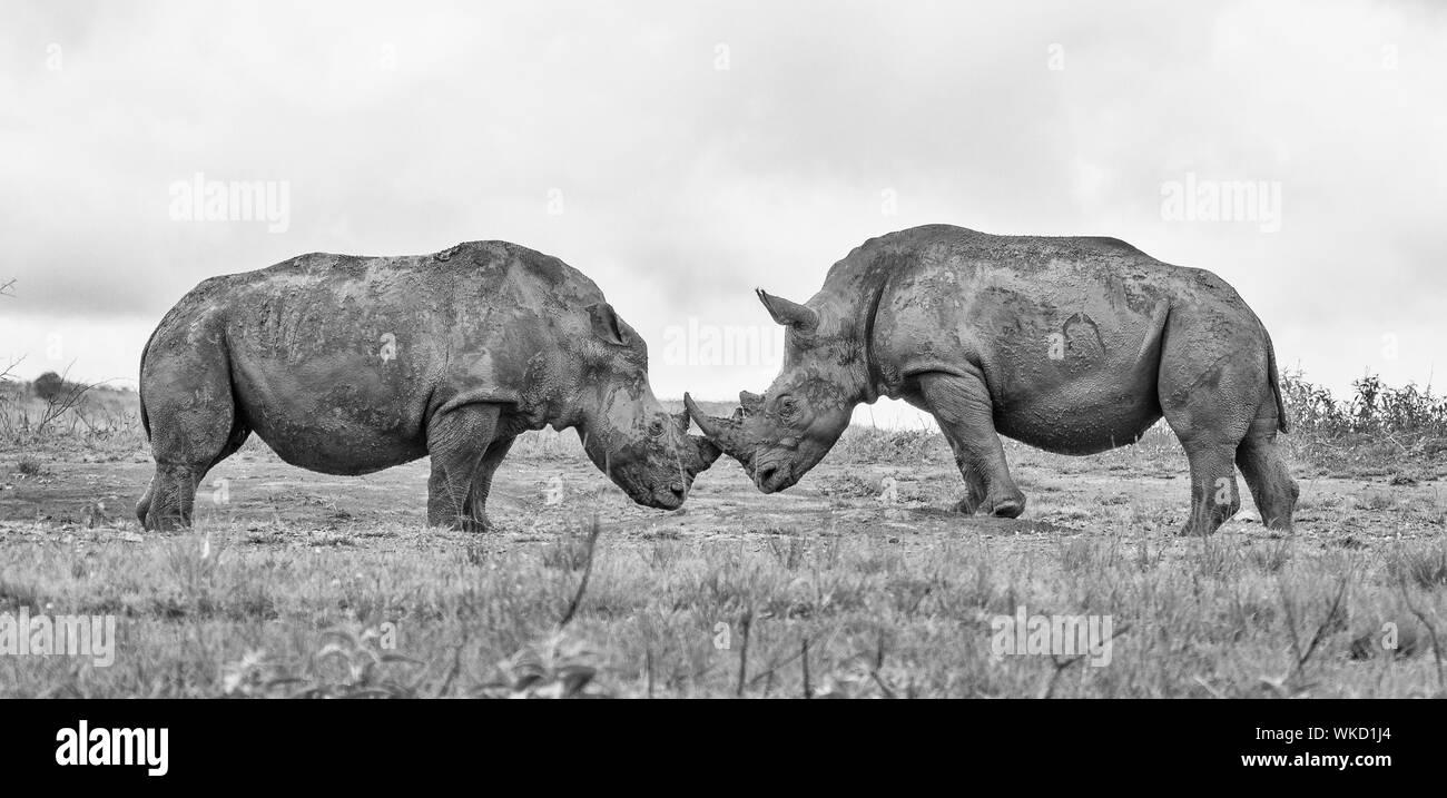 Rhinoceroses Black And White Stock Photos Images Alamy