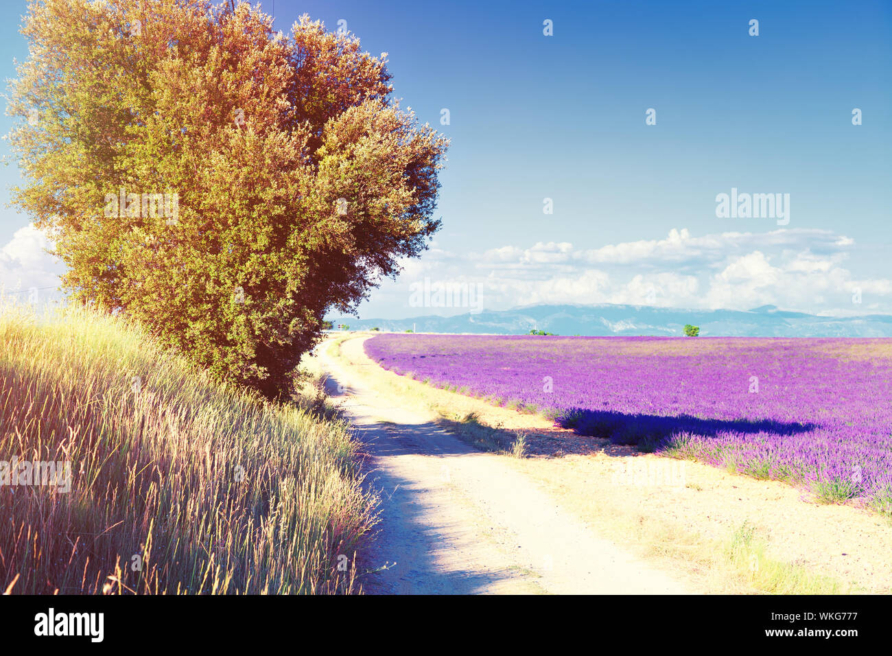 country road near Lavender field. The plateau of Valensole in Provence Stock Photo