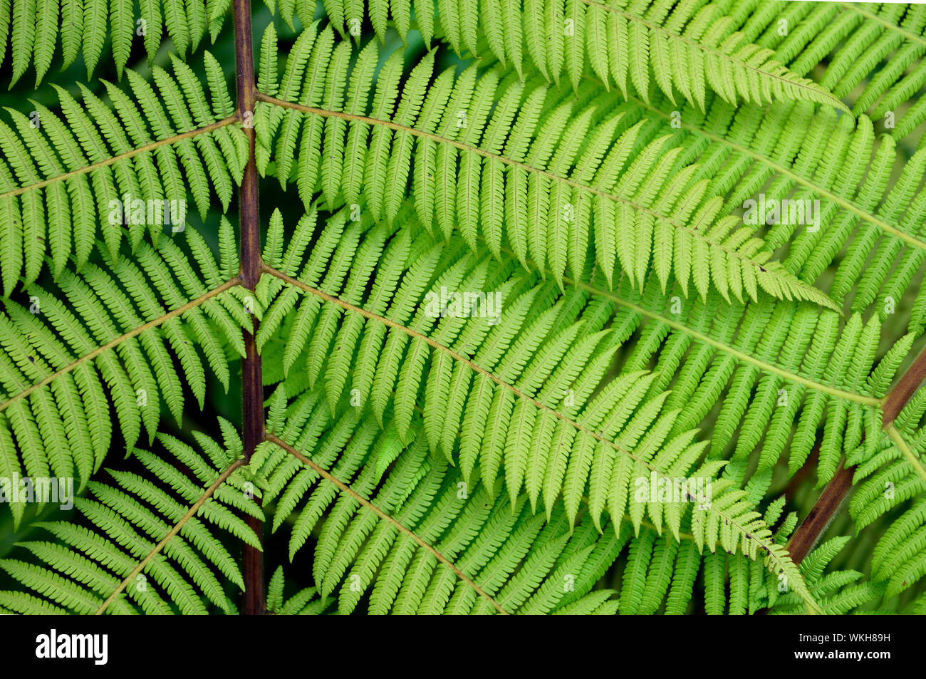 Tropical fern branch with rows of intricate natural leaf patterns, northern Andes, Colombia Stock Photo