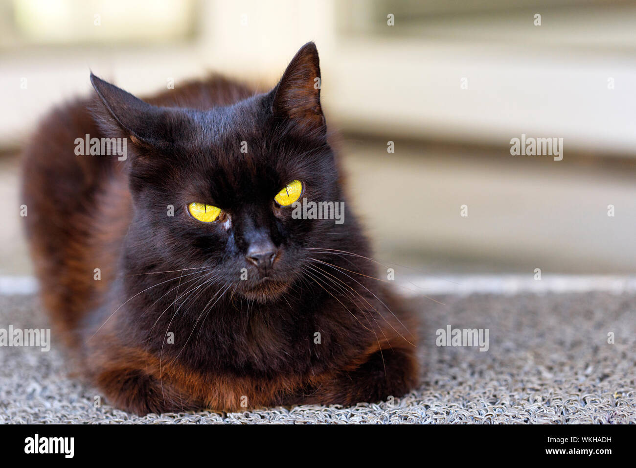 The bright yellow cat eyes of a beautiful dark brown cat with a blue tint of fur are carefully looking straight ahead, cat, black, portrait. Stock Photo