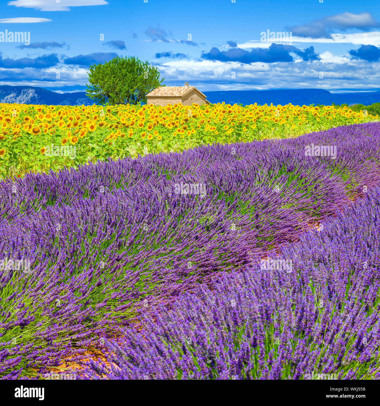 Lavender and sunflower field with tree in France Stock Photo