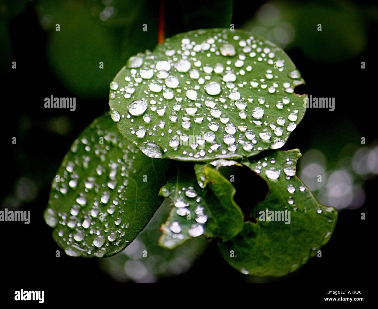 Close-up Of Raindrops On Leaf Stock Photo