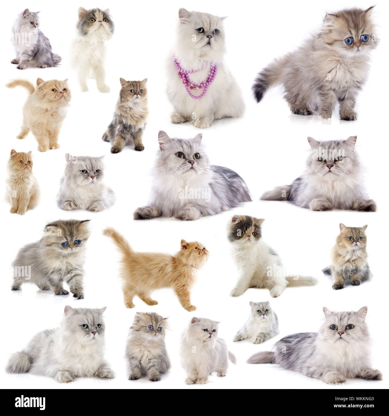 group of persian cats in front of a white background Stock Photo ...