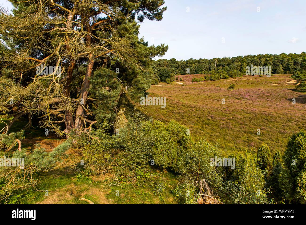 The Westruper Heide, in the nature park Hohe Mark Westmünsterland, near Haltern, Heather blossom,   Germany Stock Photo