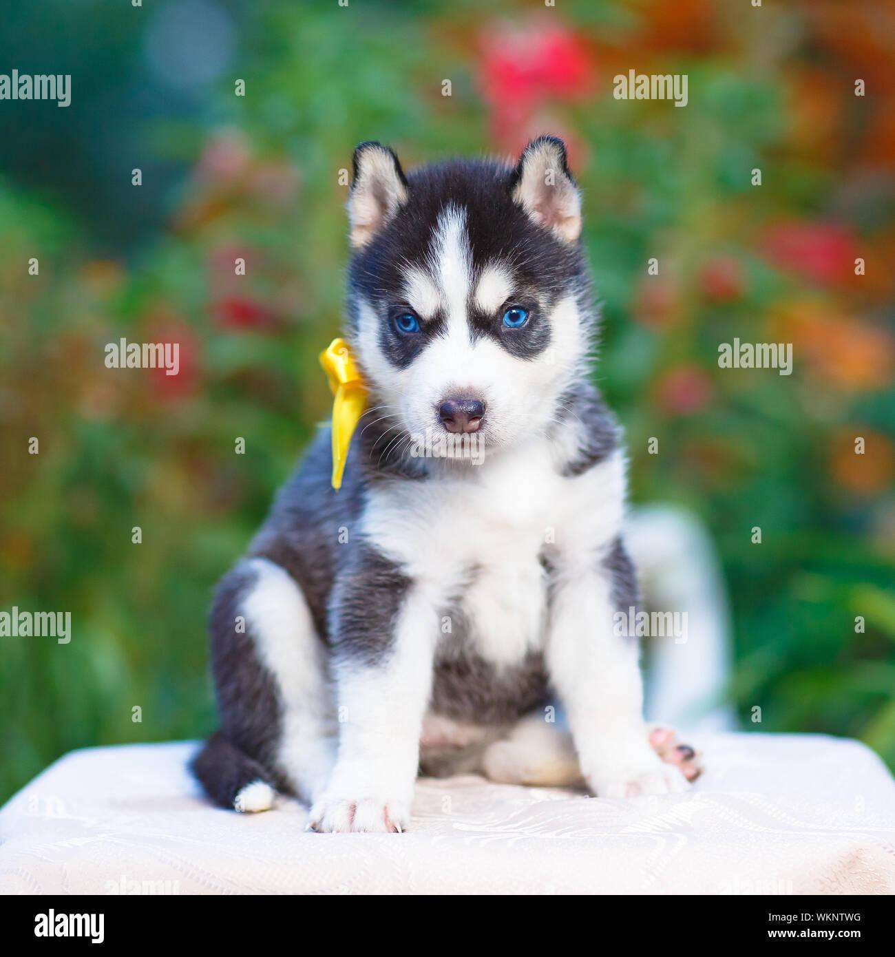 Siberian Husky Puppy With Blue Eyes Stock Photo Alamy