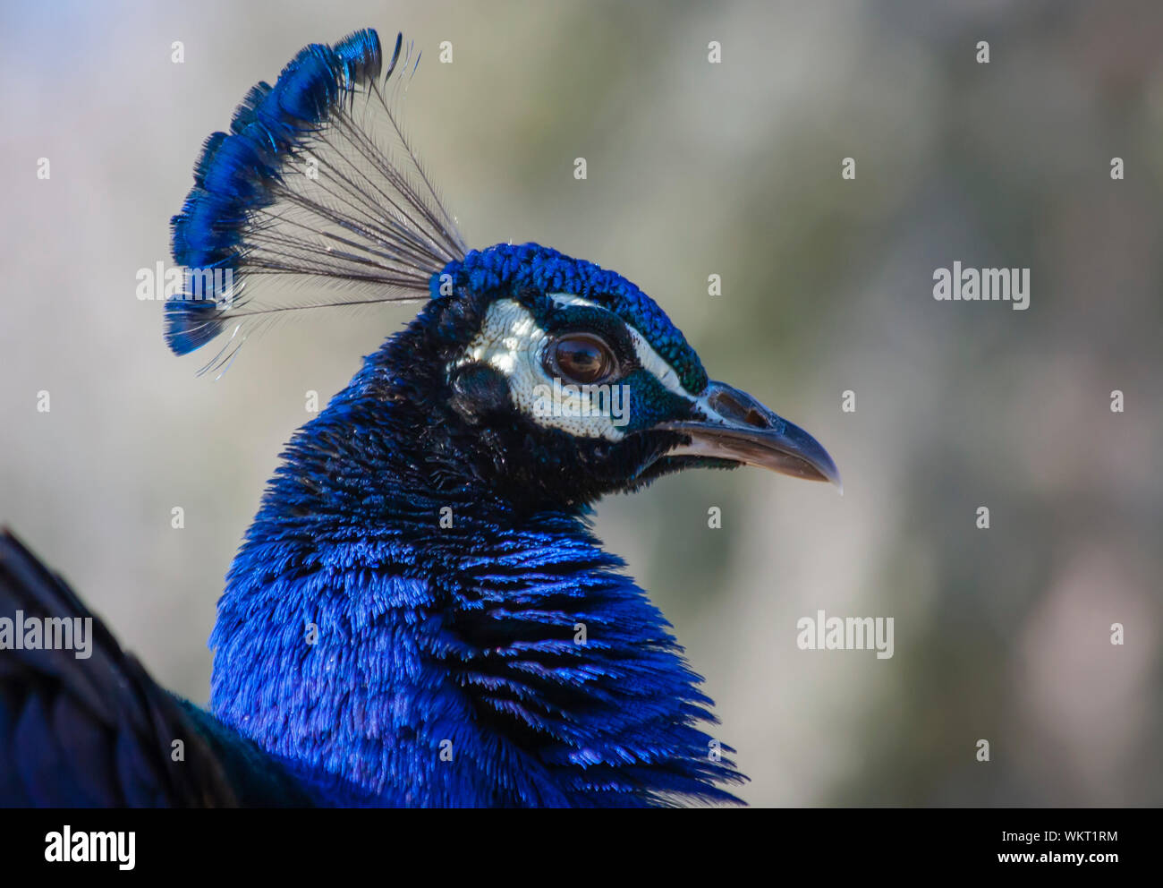 Blue Peacock or Indian peafowl a large and brilliantly coloured birds with a fan-like crest of feathers when on display during courtship Stock Photo