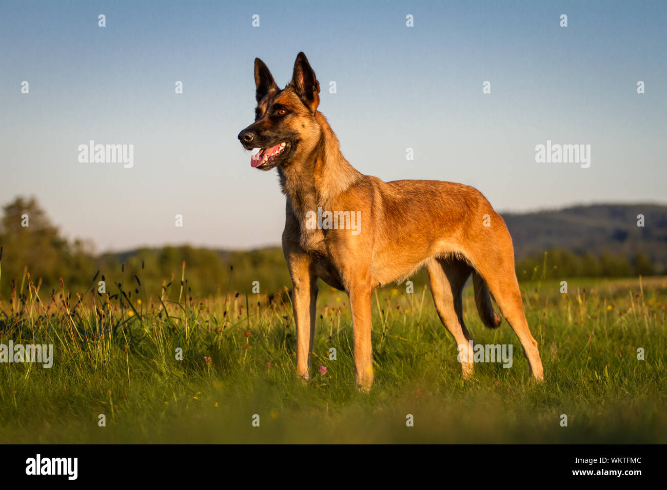 Belgian Malinois Dog High Resolution Stock Photography And Images