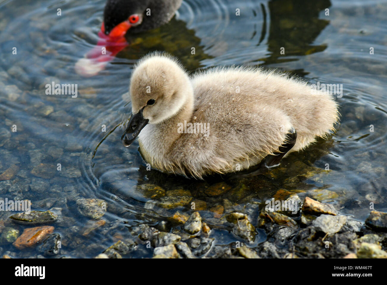 Black swan cygnets swimming within the pond looking for food Stock Photo