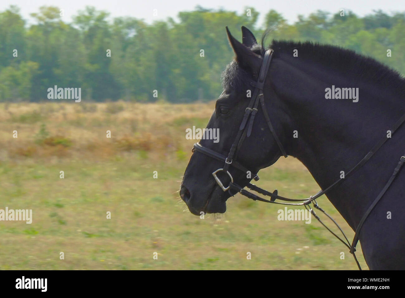 Portrait of a black horse in a bridle and trimmed mane Stock Photo