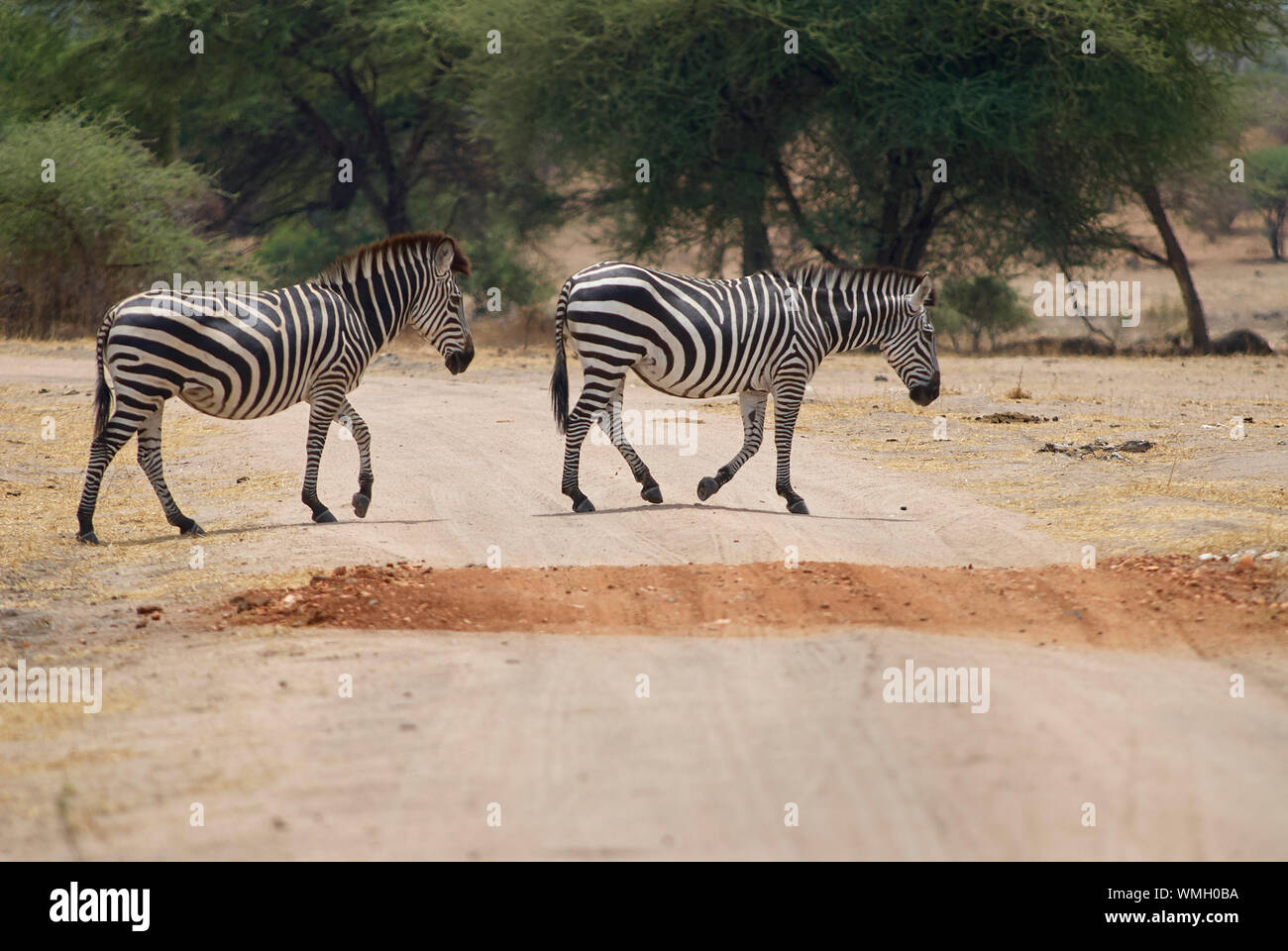 Two zebras crossing a dirt road in the Ruaha National Park Stock Photo