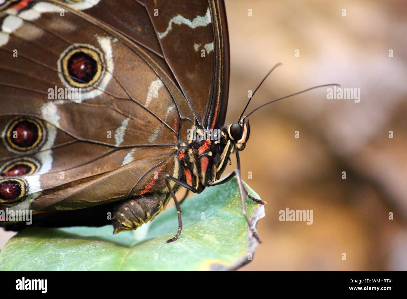 Blue Morpho Peleides Butterfly (Blauer Morpho Schmetterling) Stock Photo