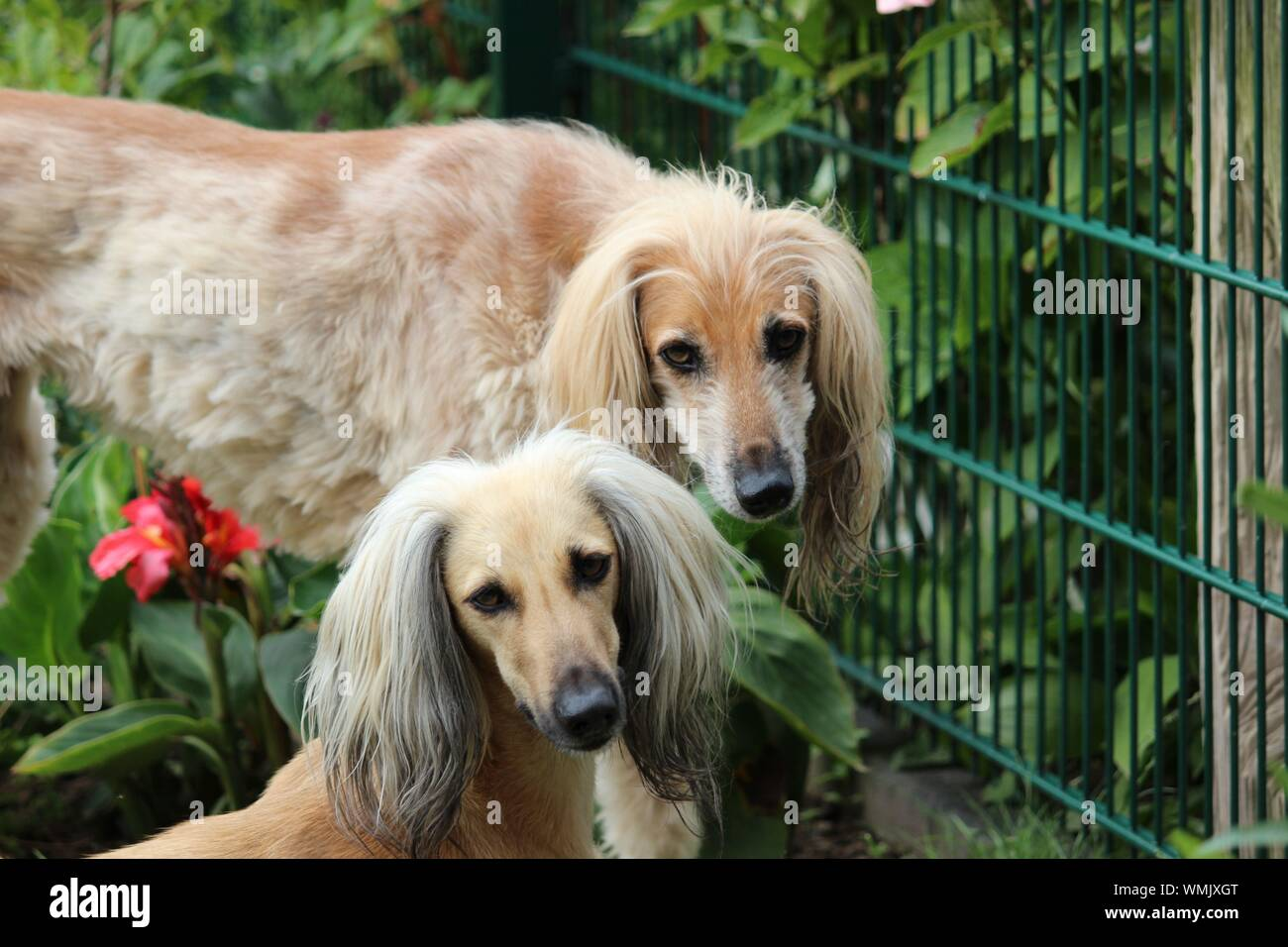 Portrait Of Sighthounds In Garden Stock Photo