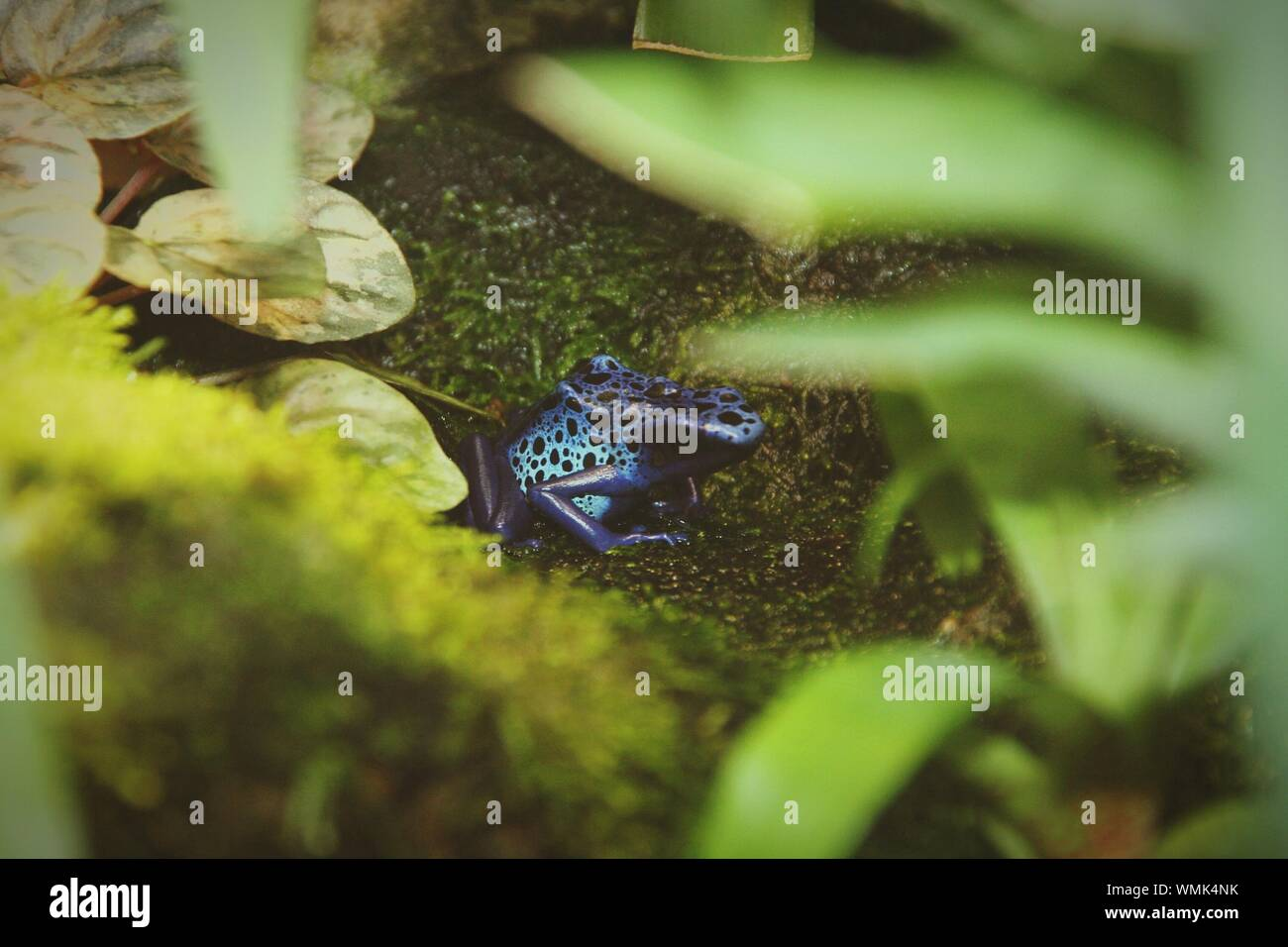 High Angle View Of Blue Spotted Frog Seen Through Plants Stock Photo