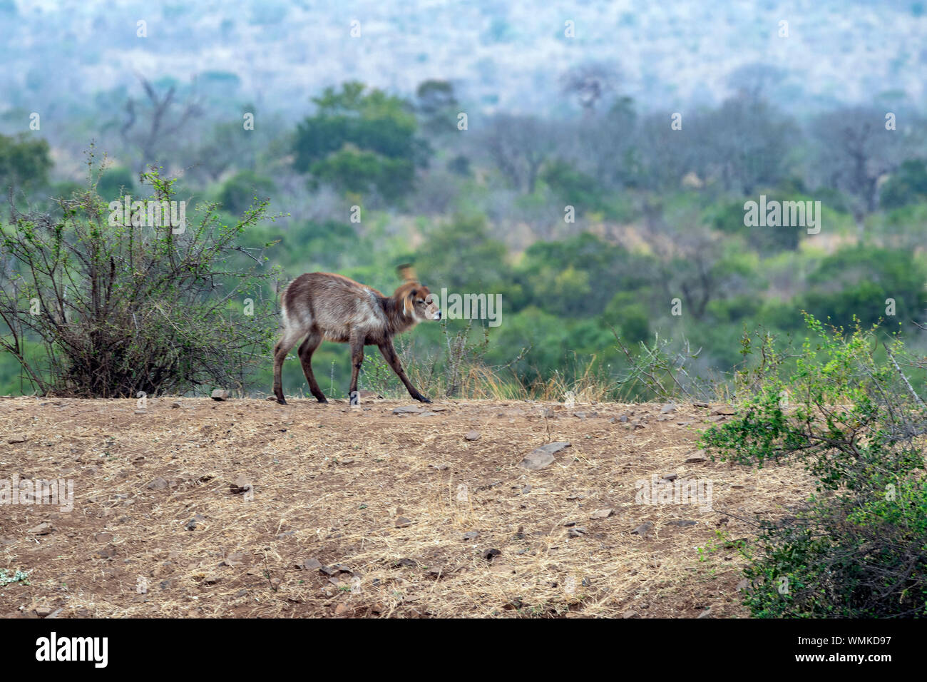 baby newborn waterbuck antelope in kruger park south africa portrait Stock Photo