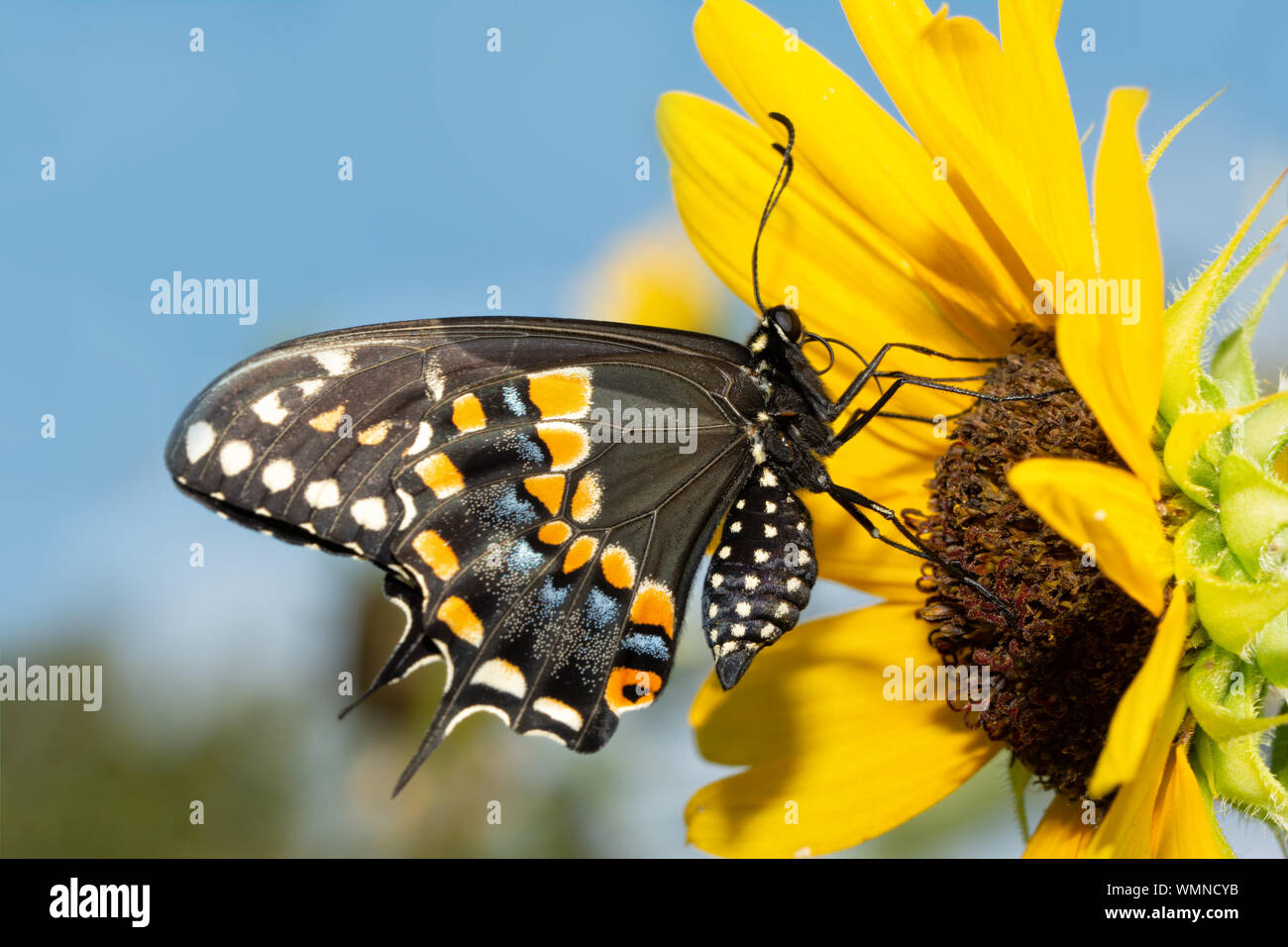 Black Swallowtail butterfly on a native wild Sunflower against blue sky Stock Photo