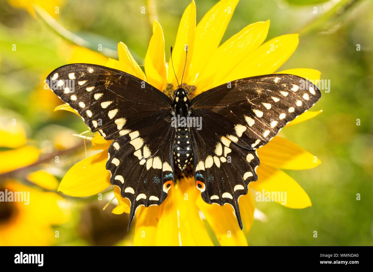 Full dorsal view of open wings of an Eastern Black Swallowtail butterfly on a native Sunflower in brilliant morning sun Stock Photo