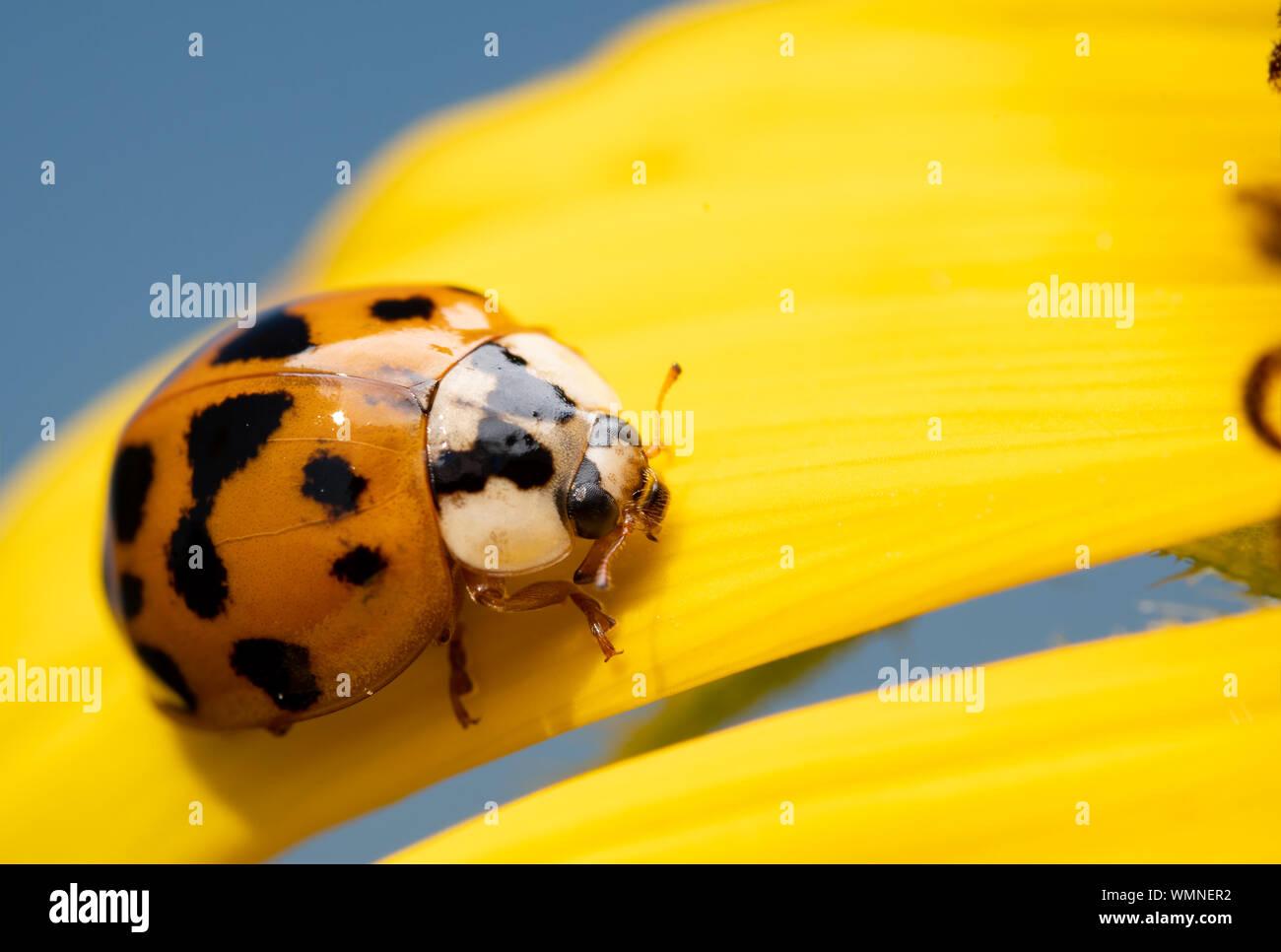 Asian Ladybeetle, Harmonia axyridis, on a bright yellow wild Sunflower petal with blue sky background Stock Photo
