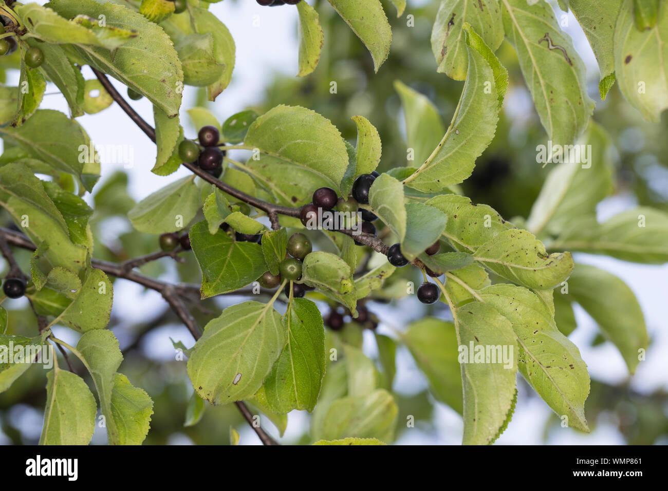 5 seeds//graines Rhamnus caroliniana