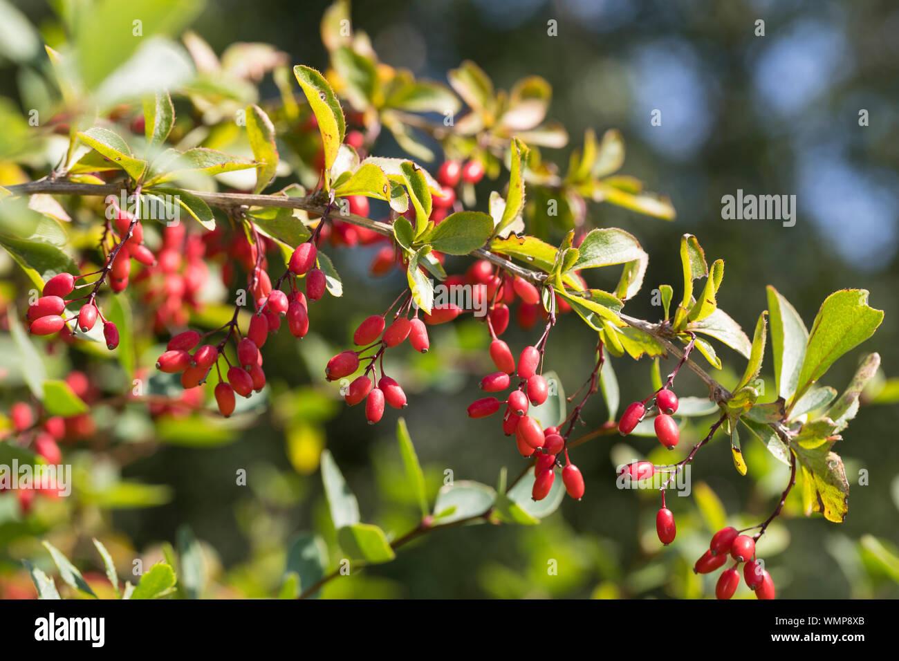 Sauerdorn Gewöhnliche Berberitze Essigbeere Berberis vulgaris