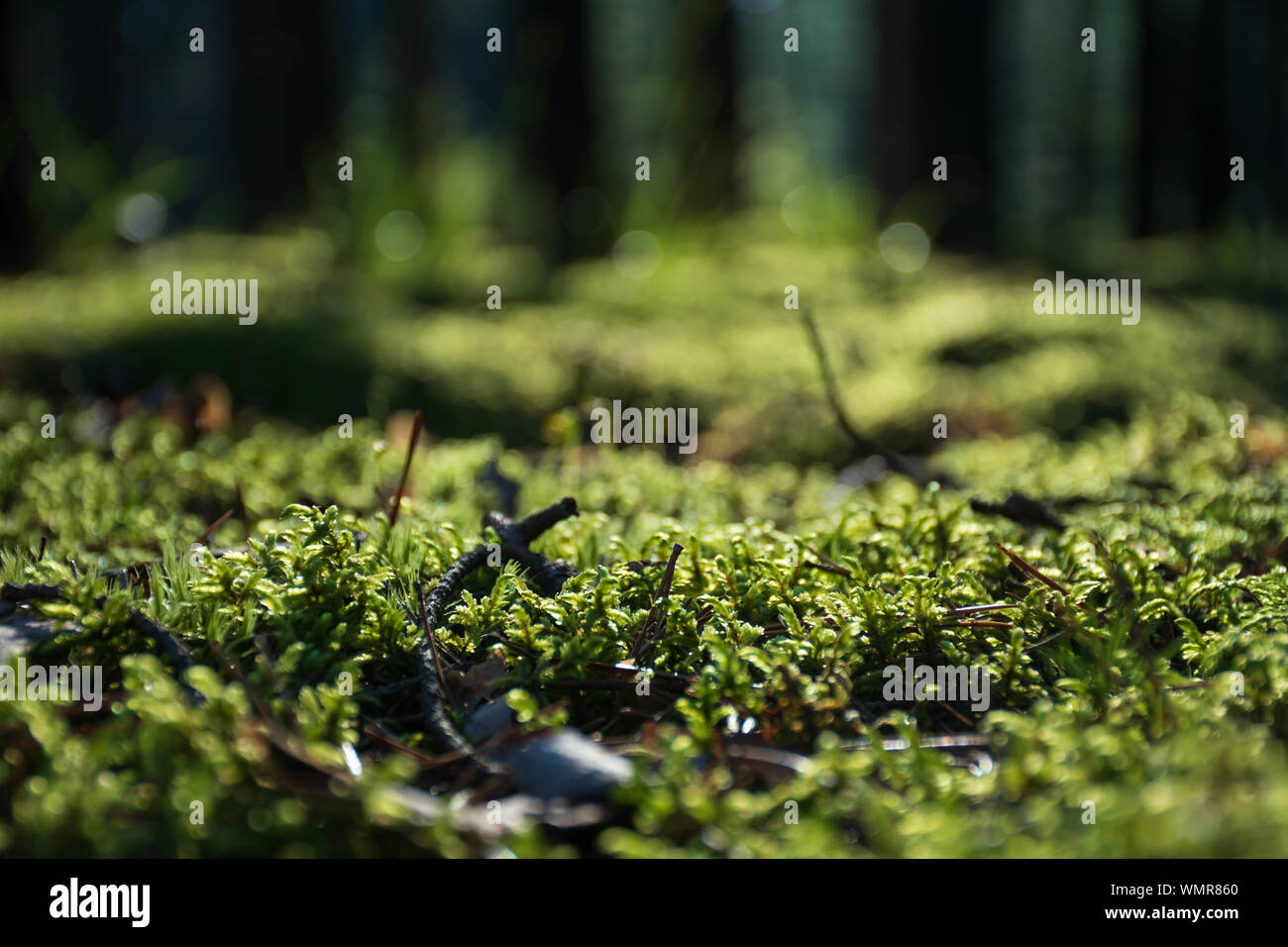 Beautiful bright green moss on the floor in the forest with trees, macro view, close up, nature Stock Photo