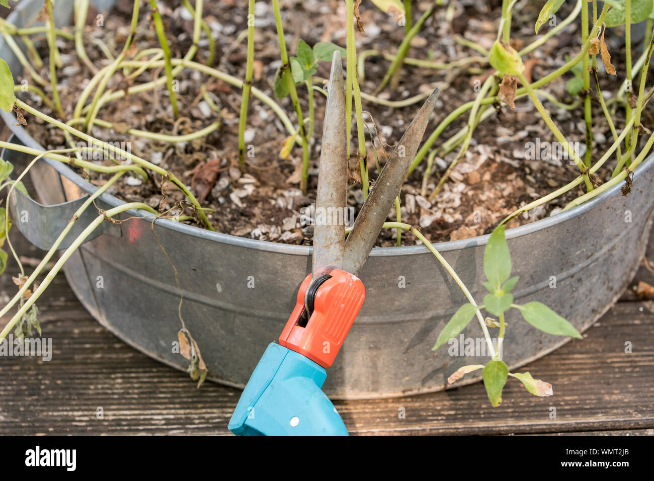 Scissors for gardening with flowers. Stock Photo