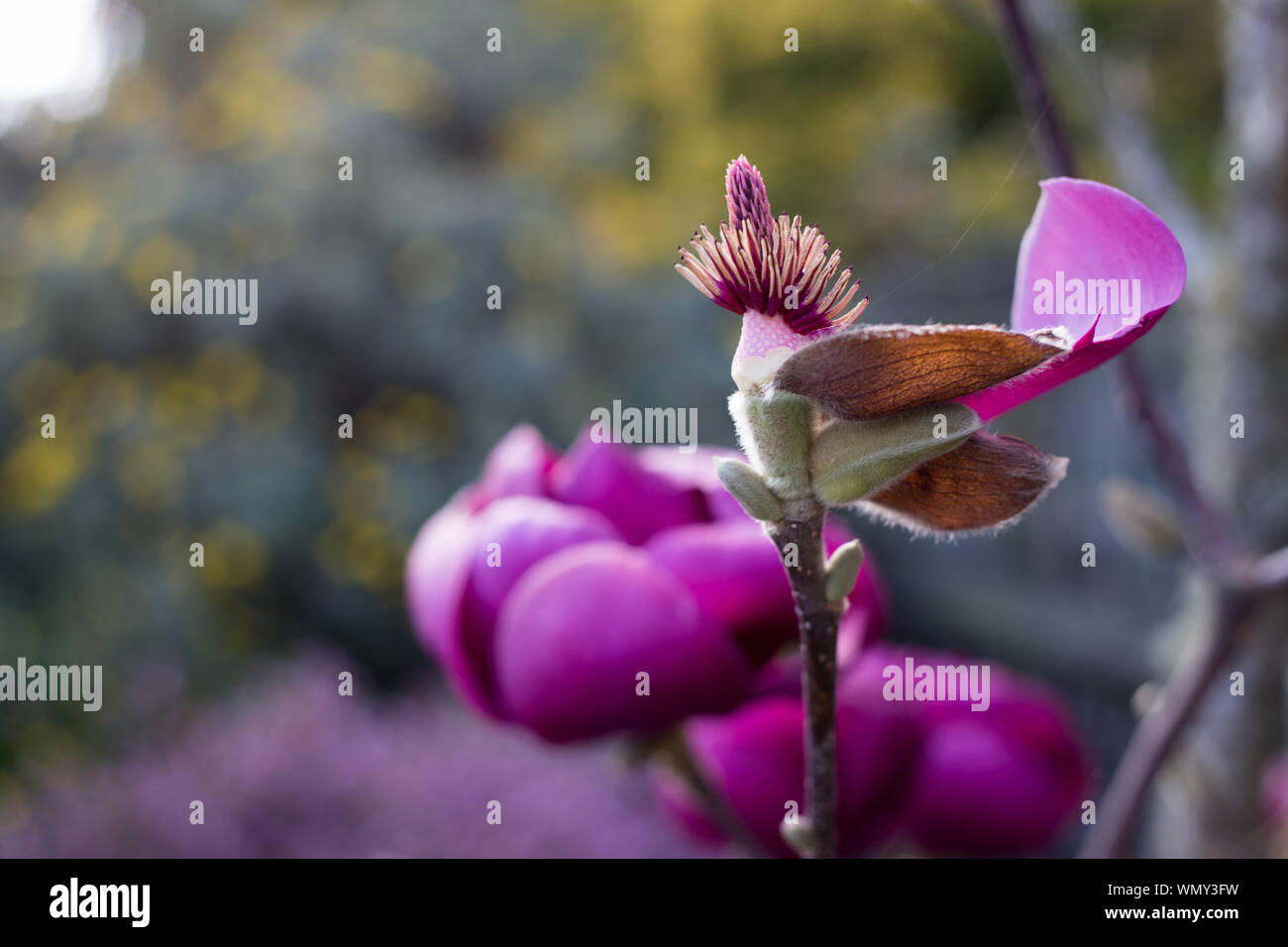 Beautiful Magnolia trees with huge pink flowers blooming at the beginning of spring in Canterbury, New Zealand Stock Photo