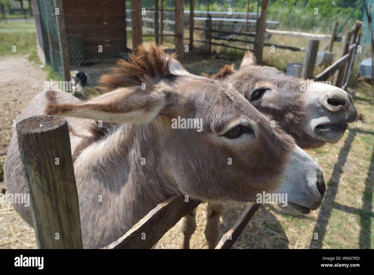 Close-up Portrait Of Donkeys Stock Photo