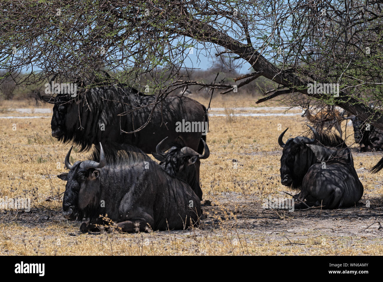 gnus in the shade of an acacia tree in Nxai Pan National Park in Botswana Stock Photo