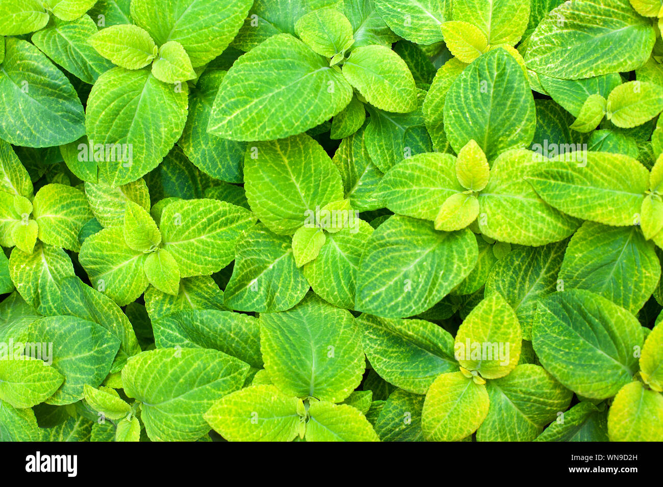 Coleus Green And Yellow Leaves Decorative Background Close Up