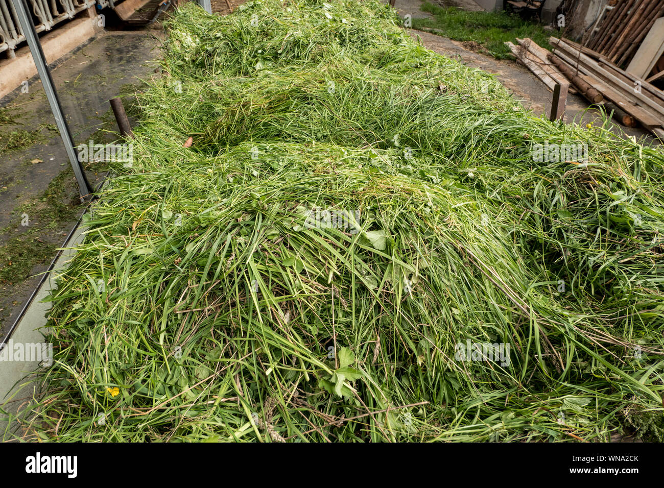 freshly cut grass to feed the cows Stock Photo