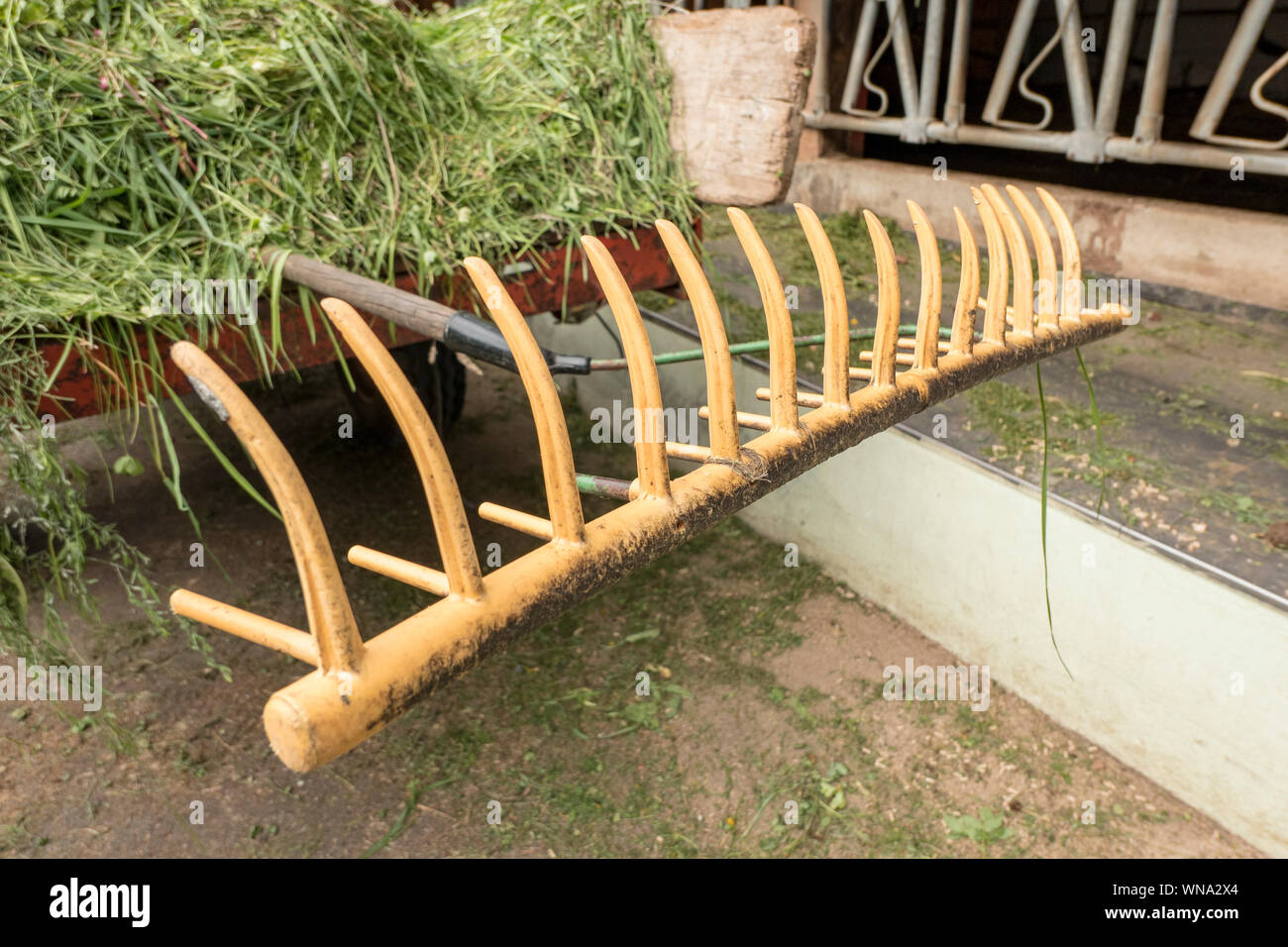 yellow rake with freshly cut grass in front of the cowshed Stock Photo