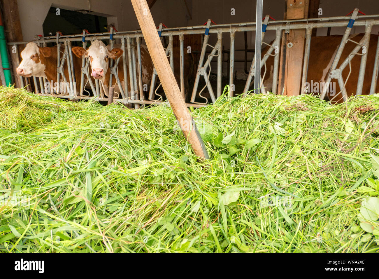 Dung fork in a mountain of freshly cut grass in front of a cowshed Stock Photo