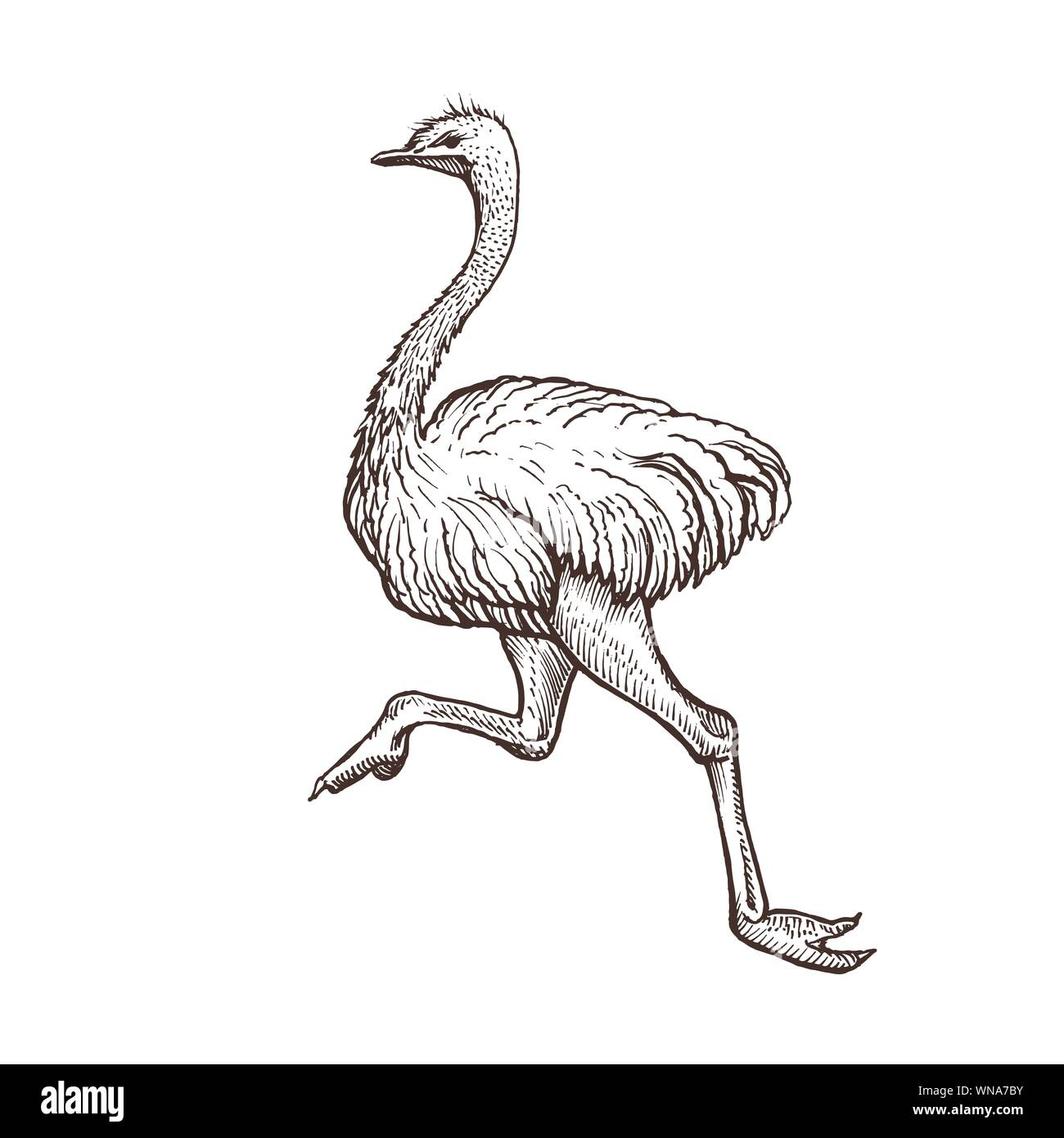 Ostrich bird, farm animal sketch, isolated running ostrich on the white background. Vintage style. Vector illustration. Stock Vector