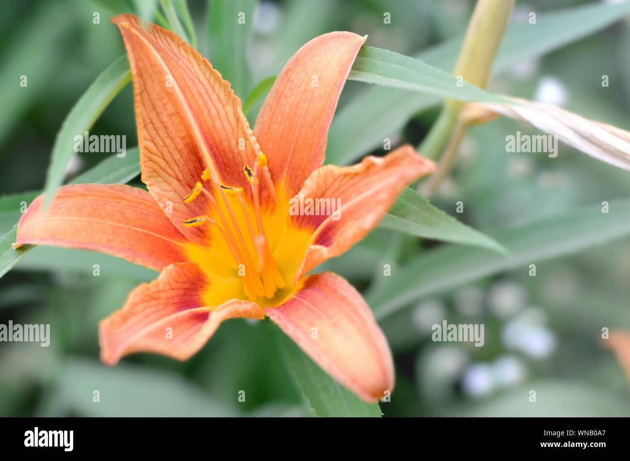 Orange lily flowers with green stems grow in a country house garden. Lilium bulbiferum is a herbaceous European lily with underground bulbs Stock Photo
