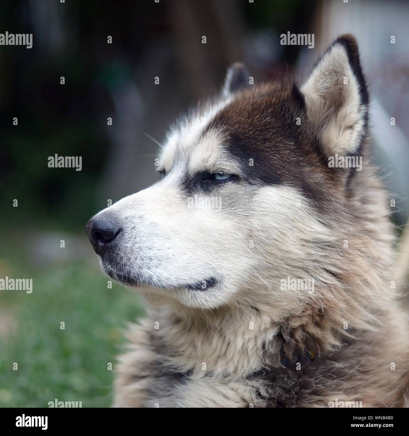 Alaskan Malamute with blue eyes. The Arctic Malamute is a wonderful fairly large dog native type designed to work in harness, one of the oldest breeds Stock Photo