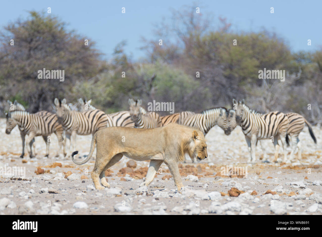 Lion and Zebras running away, defocused in the background. Wildlife safari in the Etosha National Park, Namibia, Africa. Stock Photo