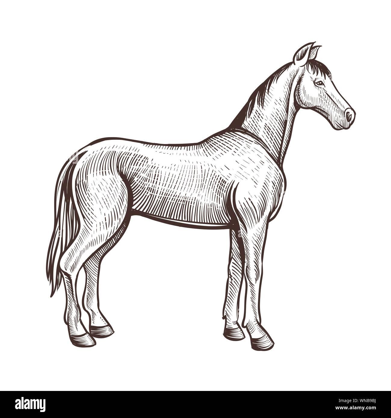 Horse Handdrawn Artwork Horse Animal Sketch For Horseback Riding Equestrian Sport Or Other Design Vector Illustration Isolated On White Stock Vector Image Art Alamy