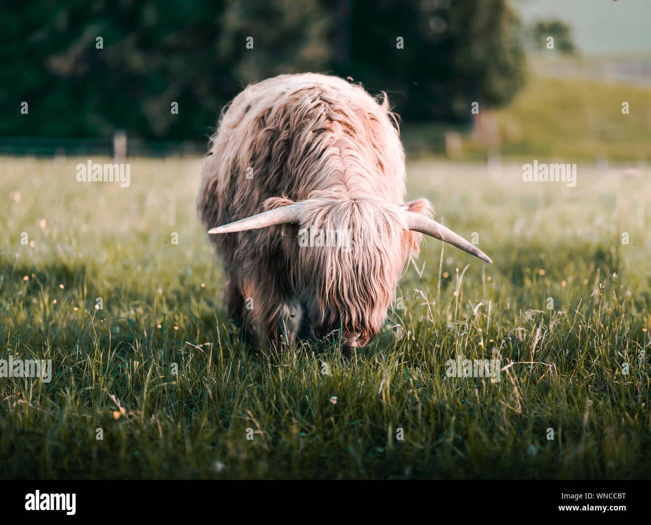 Highland Cattle Grazing On Field Stock Photo