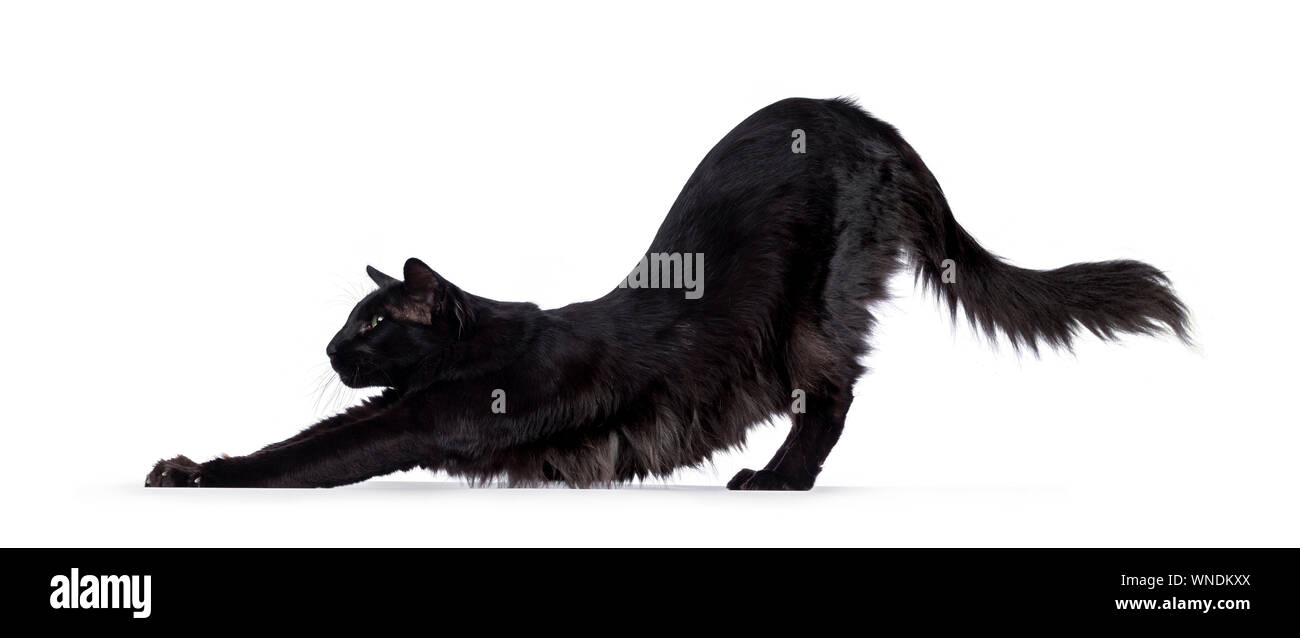 Pretty Young Adult Solid Black Balinese Oriental Longhair