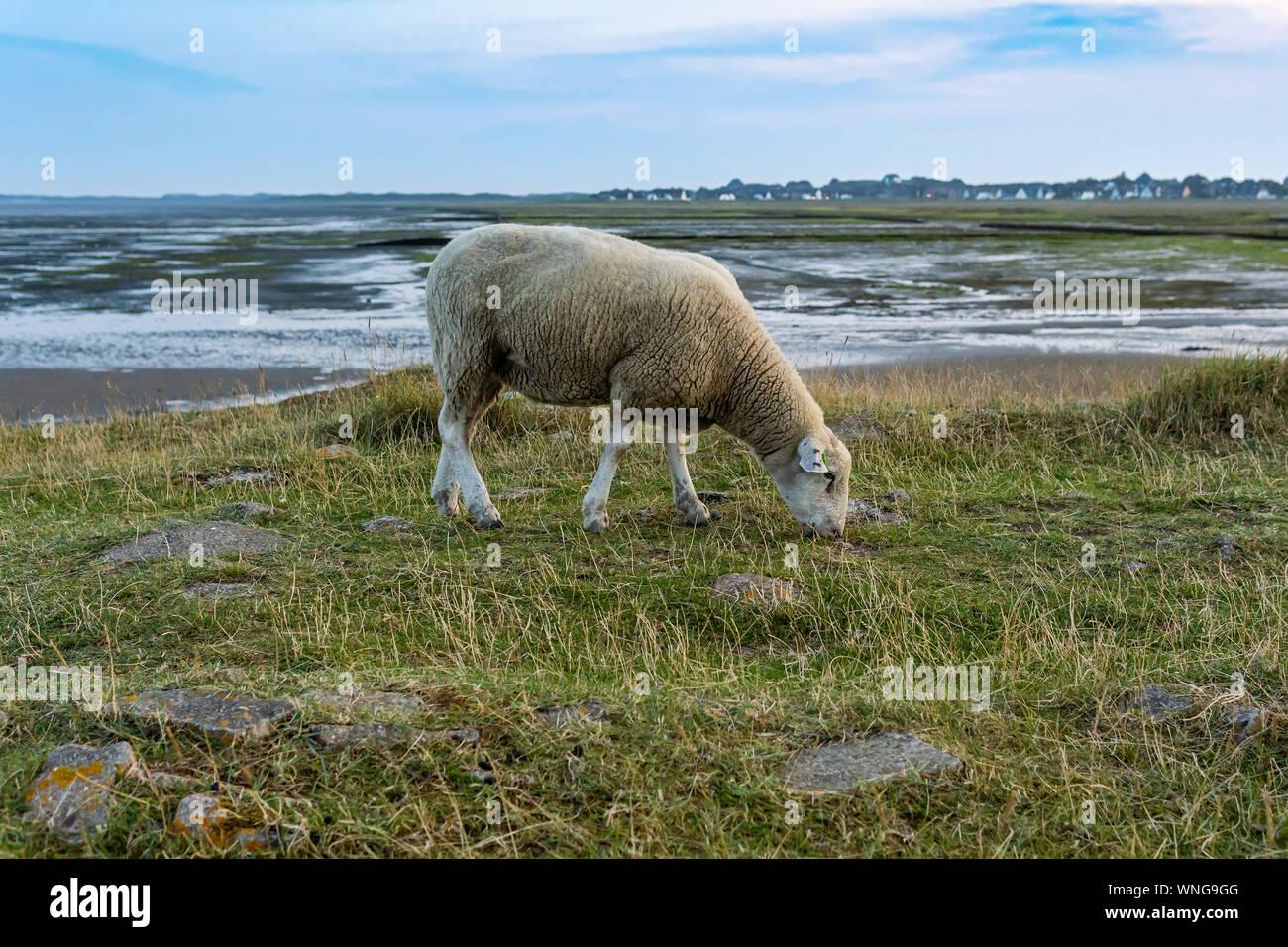 Sheeps Near Rantum On The Island Sylt Germany Stock Photo