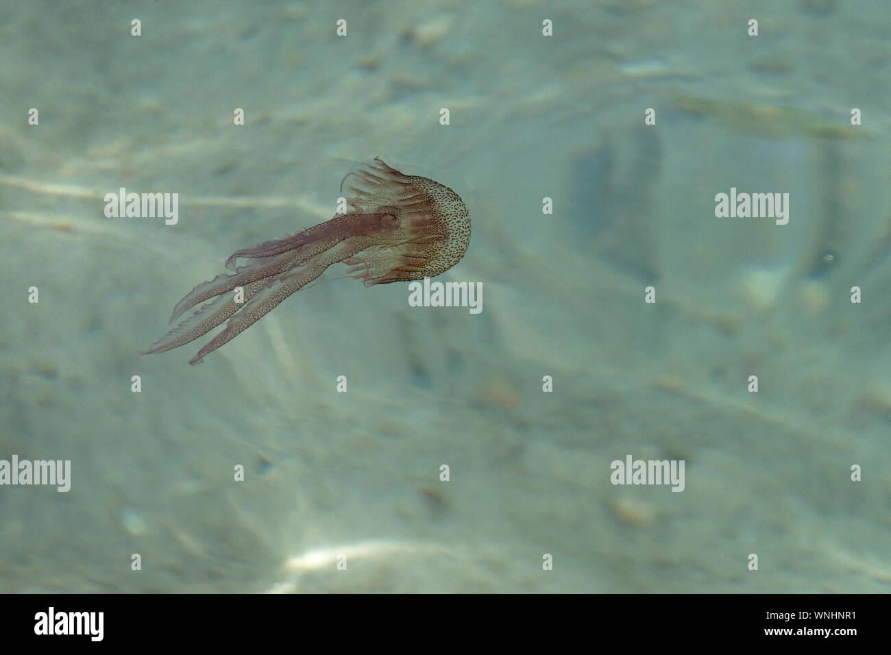 Mauve Stinger Jellyfish (Pelagia noctiluca) Stock Photo
