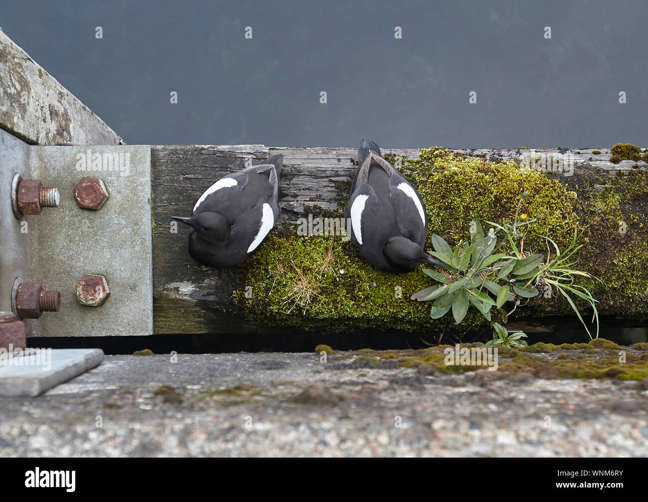 Pair of Black Guillemots, Cepphus grylle on harbour wall wooden beam, Oban, Scotland, UK Stock Photo