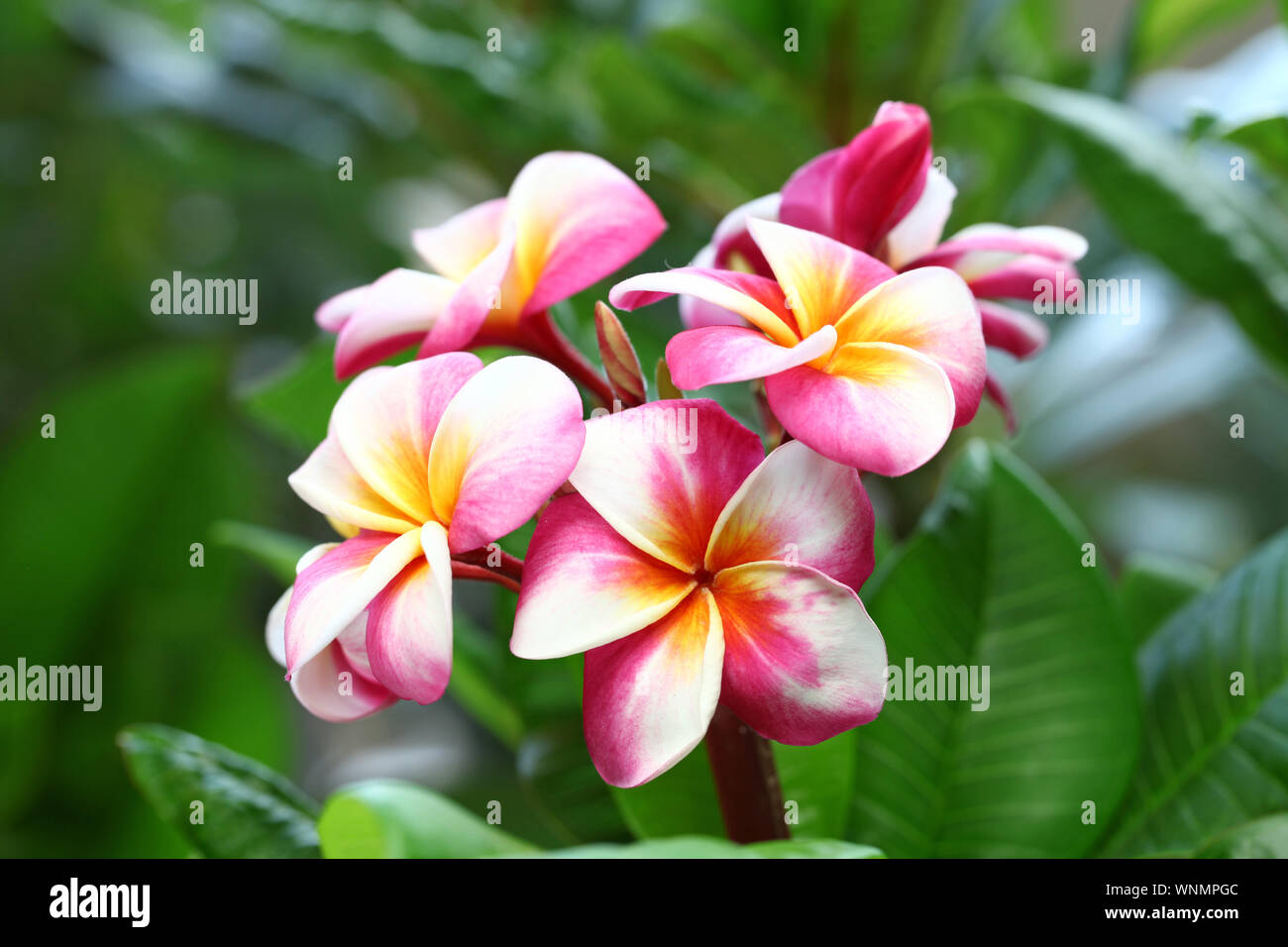 plumeria flowers and leaves Stock Photo
