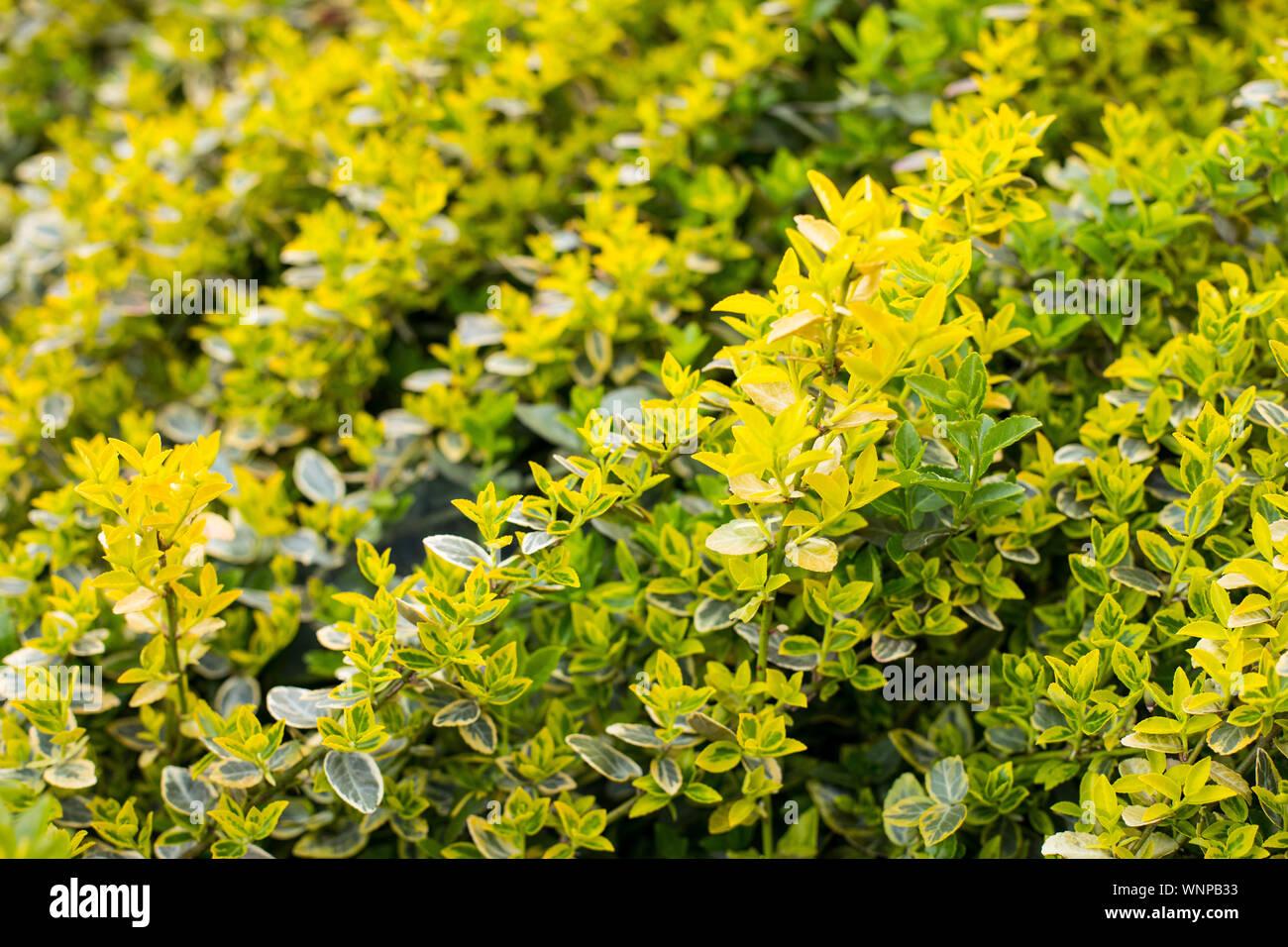 Yellow Boxwood Blur