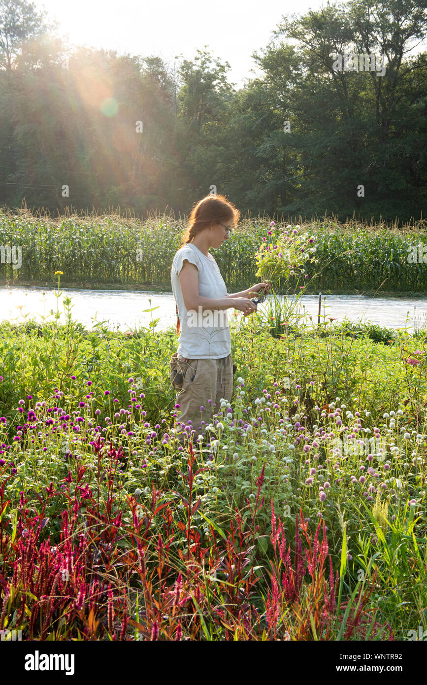 Young female farmer with red hair cuts flowers in the field Stock Photo