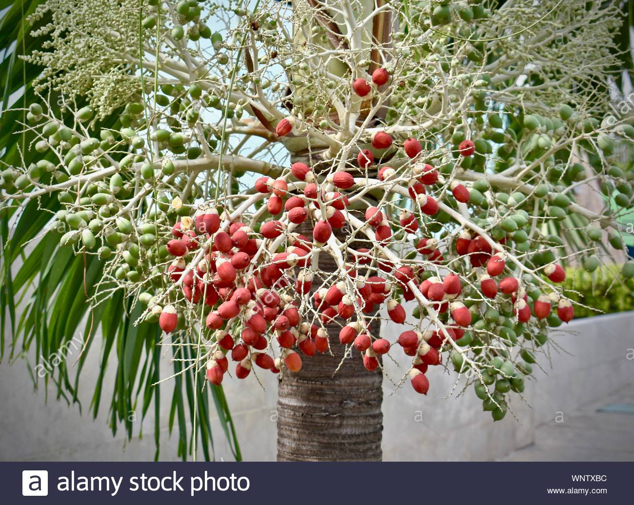 Christmas Palm Tree Seeds.Red Green Palm Seeds Stock Photos Red Green Palm Seeds